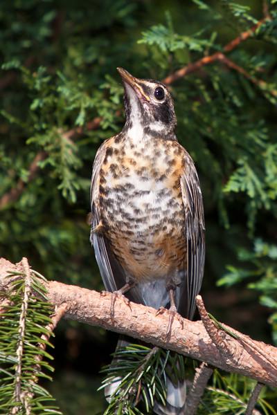 Juvenile American Robin, Turdus migratorius, in backyard at McLeansville, NC.