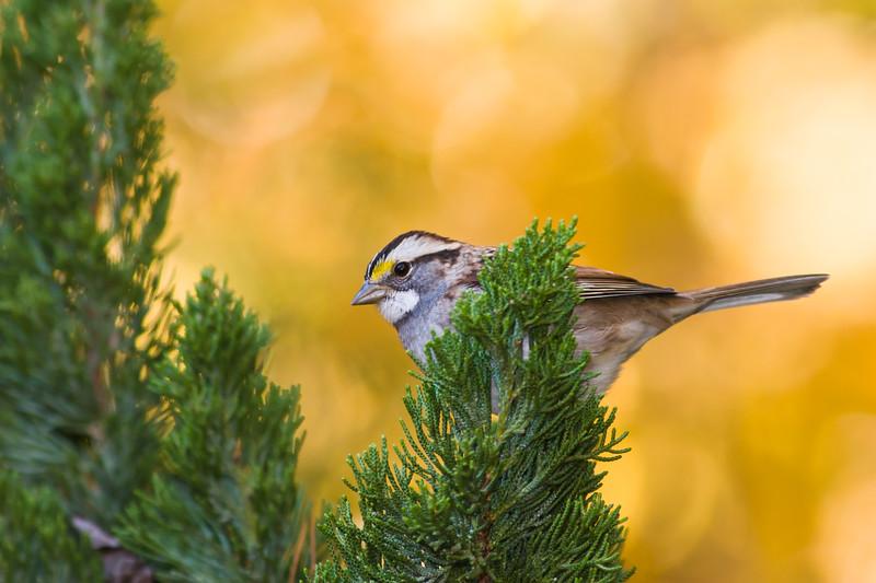 White-throated Sparrow, Zonotrichia albicollis, in North Carolina in November.