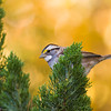 White-throated Sparrow, Zonotrichia albicollis, in North Carolina in November.
