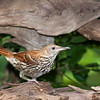 Brown Thrasher, Toxostoma rufum,  at McLeansville, NC.