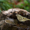 Ruby-crowned Kinglet, regulus calendula, in North Carolina.