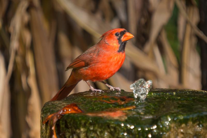 Northern Cardinal, Cardinalis cardinalis, at water fountain at Gary Carter's bird sanctuary in North Carolina.