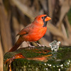 Northern Cardinal, Cardinalis cardinalis, at water fountain at Gary Carter's bird sanctuary in North Carolina.