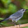 Gray Catbird, Dumetella carolinensis, at McLeansville, NC.