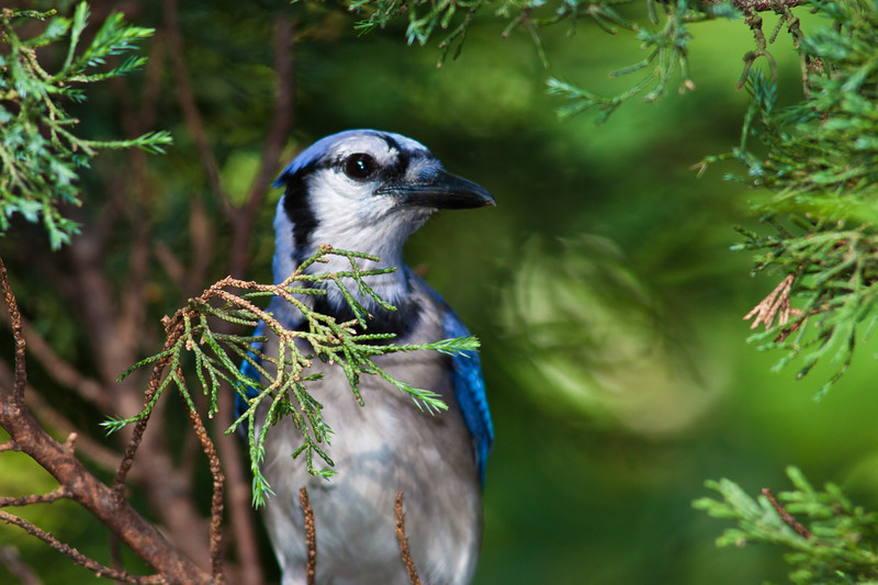 Blue Jay, Cyanocitta cristata, at McLeansville, NC.