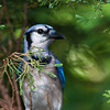 Blue Jay, Cyanocitta cristata, at McLeansville, NC.
