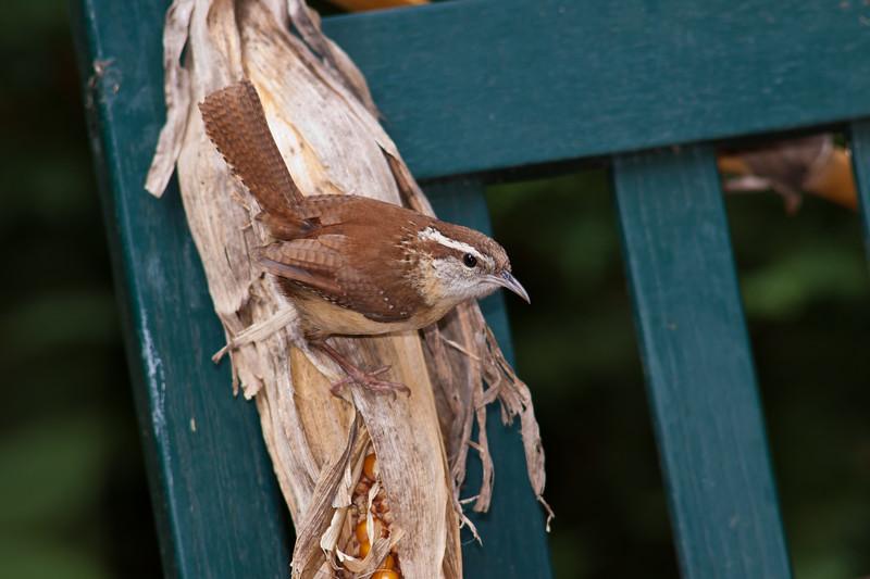 Carolina Wren,  Thryothorus ludovicianus, at McLeansville, NC.