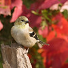 American Goldfinch, Spinus tristis, in North Carolina in November.