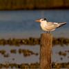 Royal Tern, Thalasseus maximus, in Chincoteague National Wildlife Refuge at Assateague Island in Virginia.