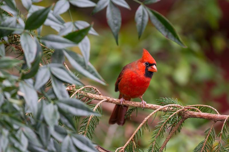 Northern Cardinal, Cardinalis cardinalis, in North Carolina.