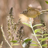 Ruby-crowned Kinglet, Regulus calendula, in North Carolina in November.
