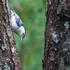 White-breasted Nuthatch, Sitta carolinensis, in McLeansville, North Carolina, in June.