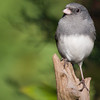 Dark-eyed Junco, Junco hyemalis, in North Carolina in November.