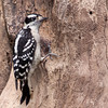 Downy Woodpecker, Picoides pubescens, at McLeansville, NC. This is the smallest woodpecker in North America.