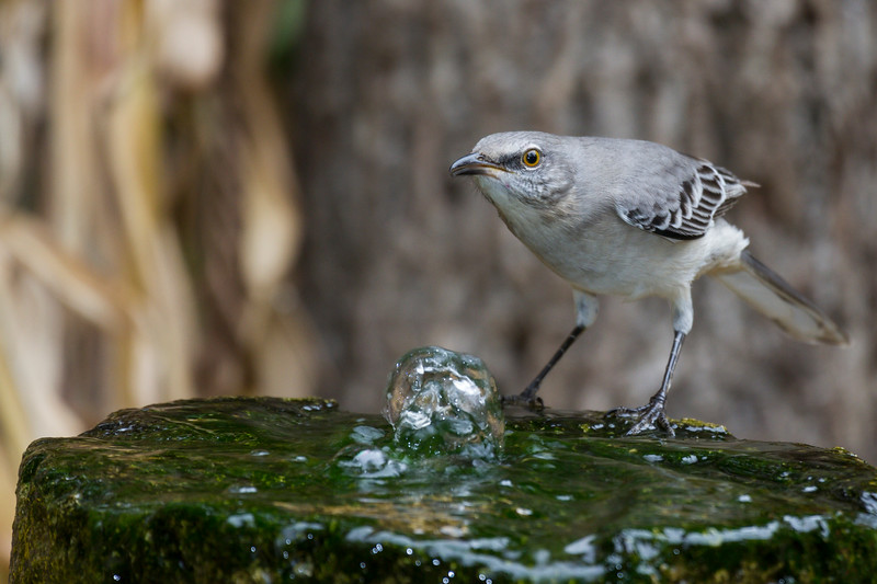Northern Mockingbird, Mimus polyglottos, in North Carolina.