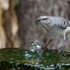 Northern Mockingbird, Mimus polyglottos, in North Carolina.