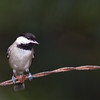 Carolina Chickadee, Poecile carolinensis, at McLeansville, NC.