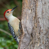Red-bellied Woodpecker, Melanerpes carolinus, in North Carolina.