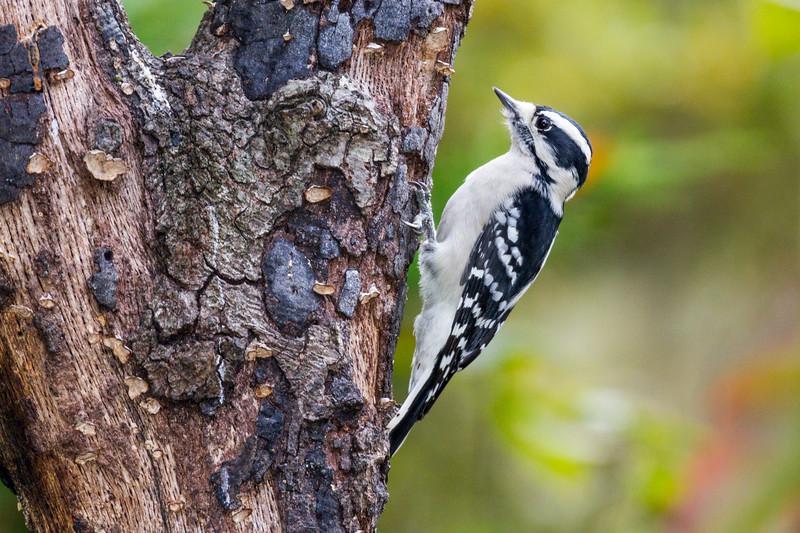 Downy Woodpecker, Picoides pubescens, in North Carolina.