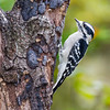 Downy Woodpecker, Picoides pubescens, in North Carolina.