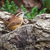 Carolina Wren, Thryothorus ludovicianus, in North Carolina.