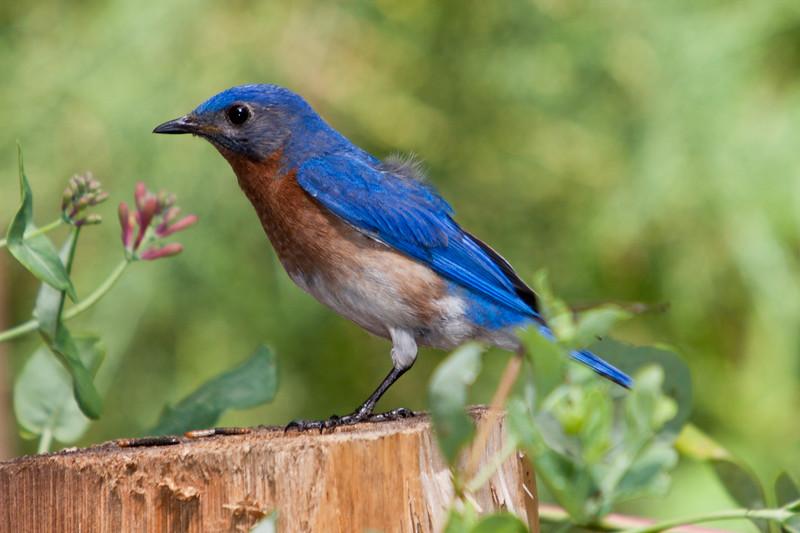 Eastern Bluebird, Sialia sialis, in backyard at McLeansville, NC.