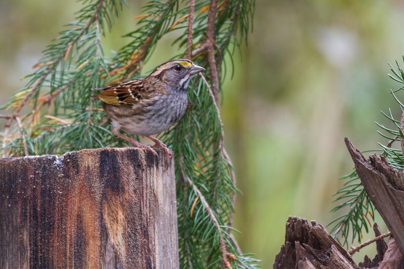 White-throated Sparrow, Zonotrichia albicollis, in North Carolina.