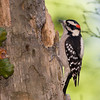 Downy Woodpecker, Picoides pubescens, in North Carolina in November. The Downey Woodpecker is the smallest woodpecker in North America.