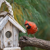 Male Northern Cardinal, Cardinalis cardinalis, at Birdhouse.