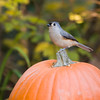 Tufted Titmouse, Baeolophus bicolor, in North Carolina in November.