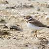 Wilson's Plover, Charadrius wilsonia, a medium-sized Plover, on Assateague Island in Virginia.