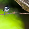 Carolina Chickadee, Poecile carolinensis, in backyard at McLeansville, NC.