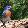 Eastern Bluebird, Sialia sialis, at Mcleansville, NC.