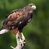 Harris's Hawk, Parabuteo unicinctus, in South Texas.