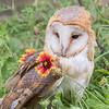 European Barn Owl, Rescue bird, trained by Sky King Falconry, a non-profit organizaiton.