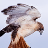 """Captive Red-tailed Hawk, Buteo jamaicensis, from the """"Last Chance Forever - The Bird of Prey Conservancy"""" organization in Central Texas. Most rescued and rehabilitated birds are returned to the wild, but this hawk's injuries prevent it being released. The hawk is used in educational programs conducted to promote better understanding of raptors and their place in ecological balance."""