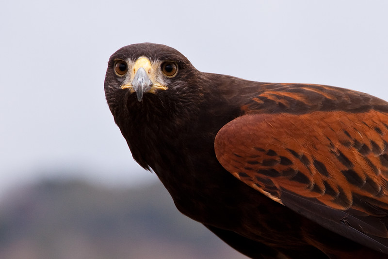 """Captive Harris's (or Harris) Hawk, Parabuteo unicinctus, at Block Creek Natural Area, a coalition of conservation oriented ranchers in Central Texas. This injured hawk is part of a bird of prey rehabilitation, rescue program, and education program by """"Last Chance Forever - The Bird of Prey Conservancy"""" located in Central Texas."""