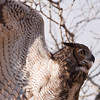 """Captive Great Horned Owl, Bubo virginianus, at Block Creek Natural Area, a coalition of conservation oriented ranchers in Central Texas. The owl is part of a bird of prey rehabilitation, rescue program, and education program by """"Last Chance Forever - The Bird of Prey Conservancy"""" located in Central Texas."""