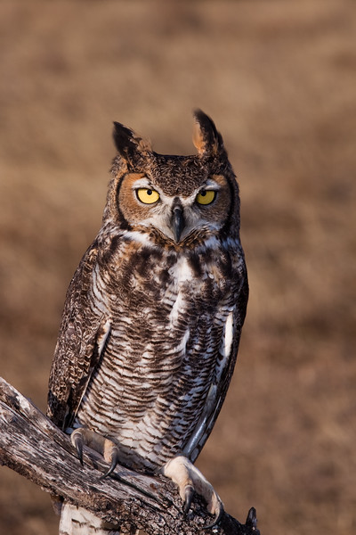 """Captive Great Horned Owl, Bubo virginianus, from the """"Last Chance Forever - The Bird of Prey Conservancy"""" organization in Central Texas. Most rescued and rehabilitated birds are returned to the wild, but this owl's injuries prevent it being released. The owl is used in educational programs conducted to promote better understanding of raptors and their place in ecological balance."""