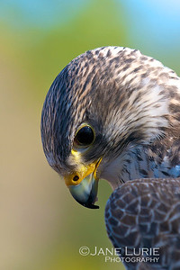 Portrait of a Falcon