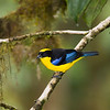 Blue-winged Mountain-Tanager, Anisognathus somptuosus, in Ecuador