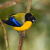 Black-chinned Mountain-Tanager, Anisognathus notabilis, in Ecuador