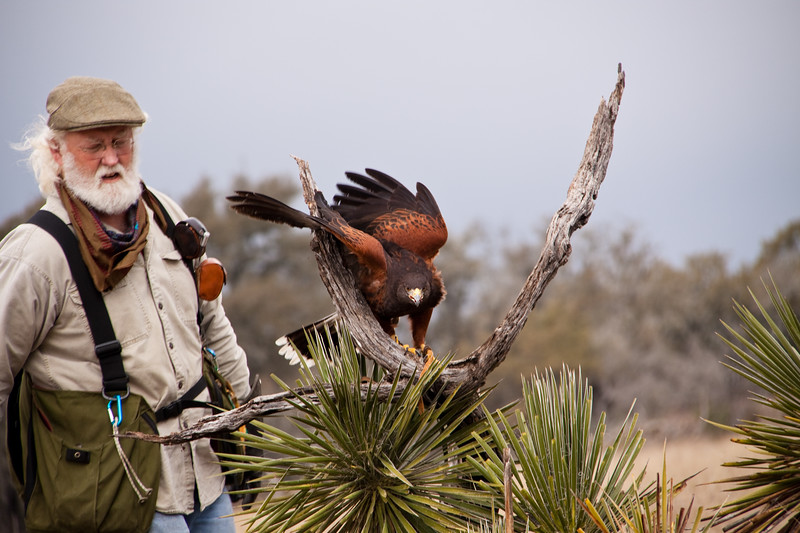 """John Karger with Captive Harris's (or Harris) Hawk, Parabuteo unicinctus, at Block Creek Natural Area, a coalition of conservation oriented ranchers in Central Texas. This injured hawk is part of John Karger's bird of prey rehabilitation, rescue program, and education program by """"Last Chance Forever - The Bird of Prey Conservancy"""" located in Central Texas."""