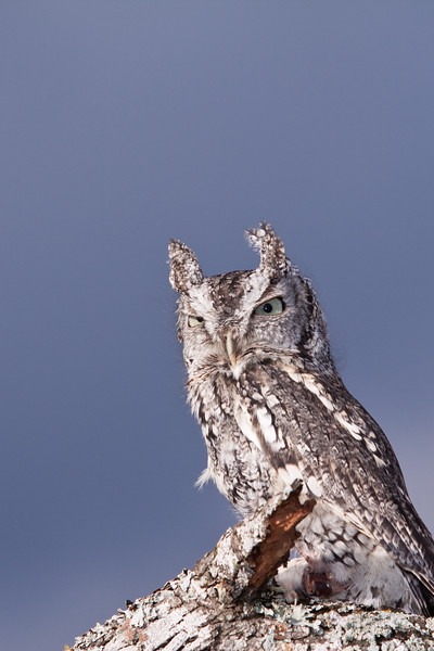 """Captive Eastern Screech-Owl, Megascops asio, from the """"Last Chance Forever - The Bird of Prey Conservancy"""" organization in Central Texas. Most rescued and rehabilitated birds are returned to the wild, but this owl's injuries prevent it being released. The owl is used in educational programs conducted to promote better understanding of raptors and their place in ecological balance."""