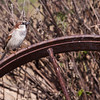 House Sparrow, Passer domesticus, at Block Creek Natural Area, a coalition of conservation oriented ranchers in Central Texas.