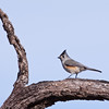 Black-crested Titmouse, Baeolophus atricristatus, at a feeder at Block Creek Natural Area, a coalition of conservation oriented ranchers in Central Texas.