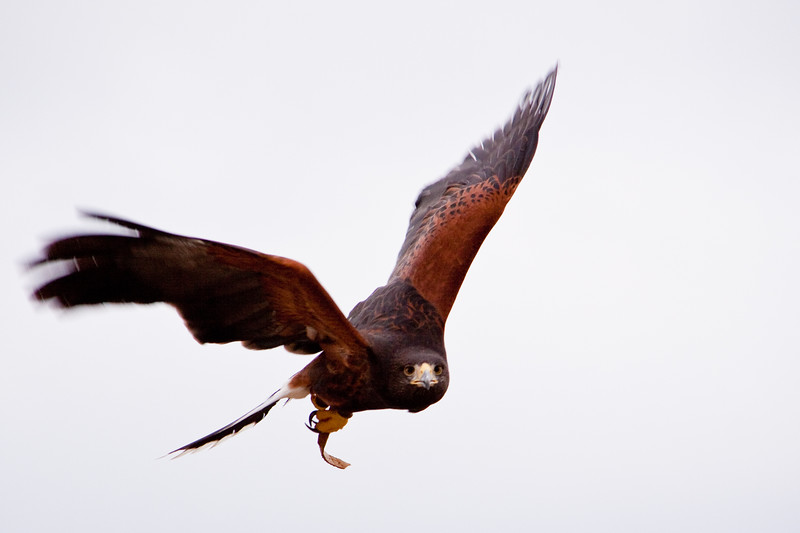 """Captive Harris's (or Harris) Hawk, Parabuteo unicinctus, flying at Block Creek Natural Area, a coalition of conservation oriented ranchers in Central Texas. This injured hawk is part of a bird of prey rehabilitation, rescue program, and education program by """"Last Chance Forever - The Bird of Prey Conservancy"""" located in Central Texas."""