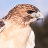 """Captive Red-tailed Hawk,  Buteo jamaicensis, at Block Creek Natural Area, a coalition of conservation oriented ranchers in Central Texas. This injured hawk is part of a bird of prey rehabilitation, rescue program, and education program by """"Last Chance Forever - The Bird of Prey Conservancy"""" located in Central Texas."""