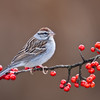 Chipping Sparrow, Spizella passerina, at Block Creek Natural Area, a coalition of conservation oriented ranchers in Central Texas.