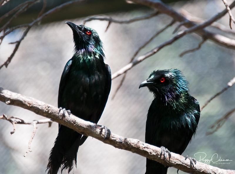 Metallic Starlings